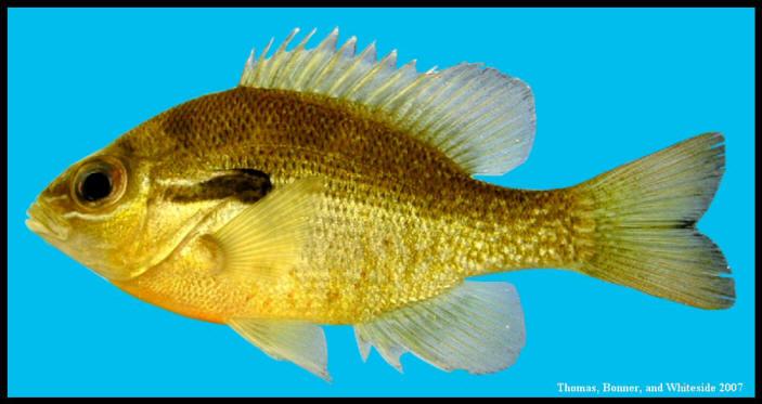 redbreast sunfish Lepomis auritus