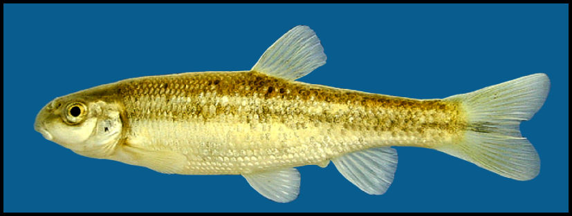 Stoneroller fish diet