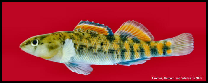 orangethroat darter Etheostoma spectabile