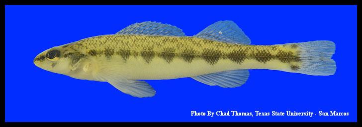 Slough Darter | Etheostoma gracile Male Stoddard County, Mis… | Flickr