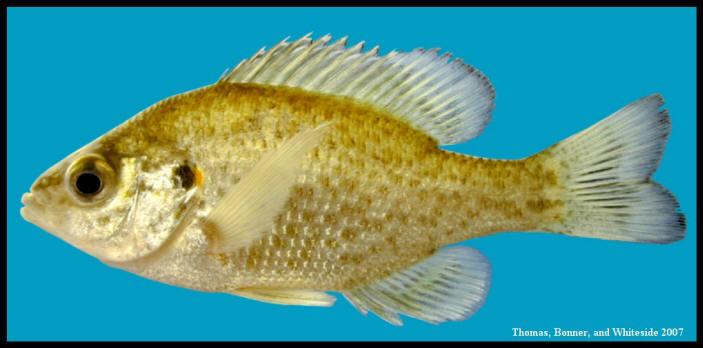 redear sunfish Lepomis microlophus