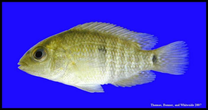 cichlasoma cyanoguttatum rio grande cichlid type locality rio grande ...