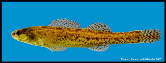 swamp darter Etheostoma fusiforme