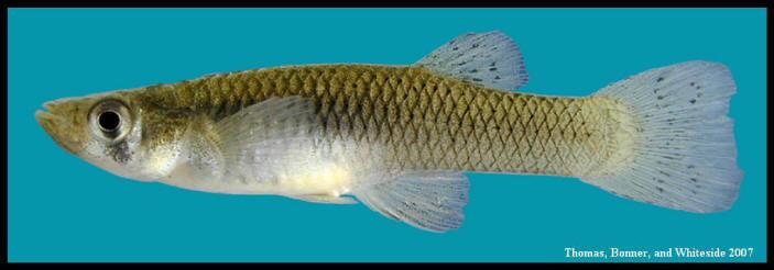 western mosquitofish Gambusia affinis