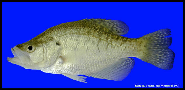 Reproduction 4 1/2 White Crappie Taxidermy Artificial