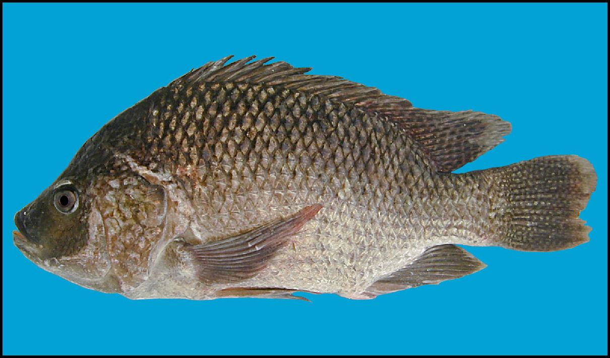 Oreochromis aureus (Is...