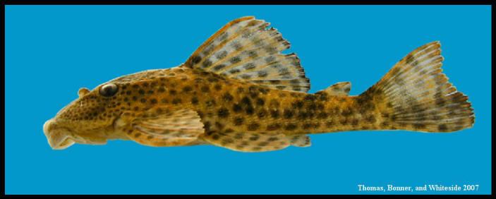 suckermouth catfish Hypostomus plecostomus
