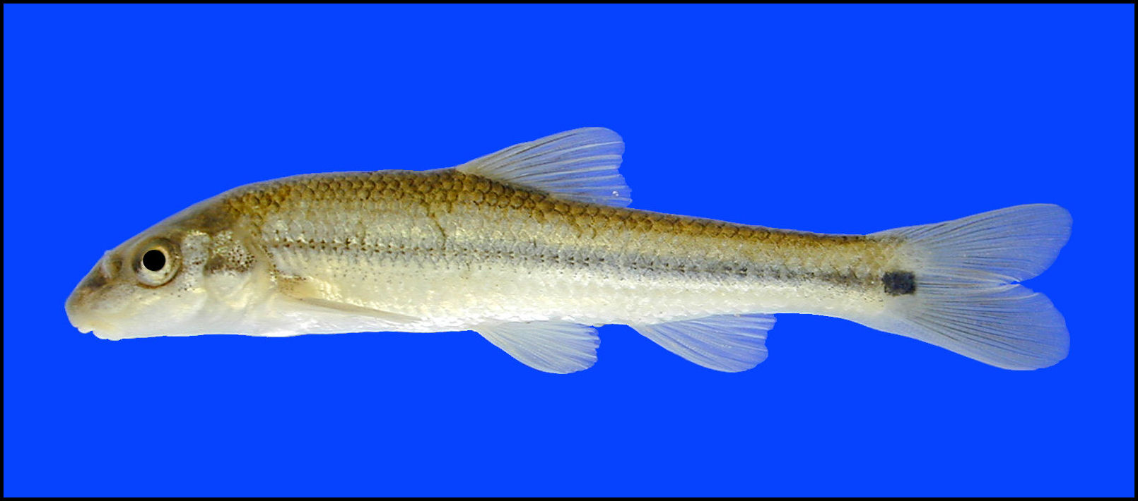 suckermouth minnow Phenacobius mirabilis